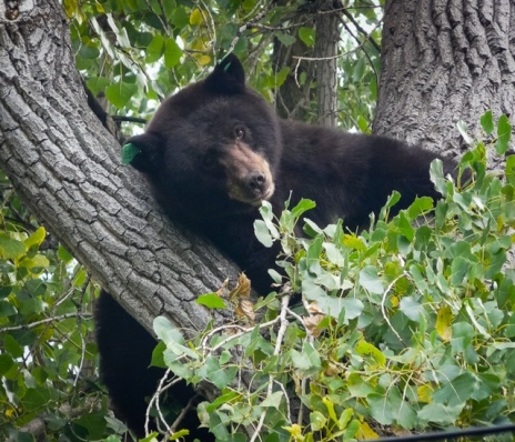 Bear #317; North Boulder, photo credit: Cary Wolfson